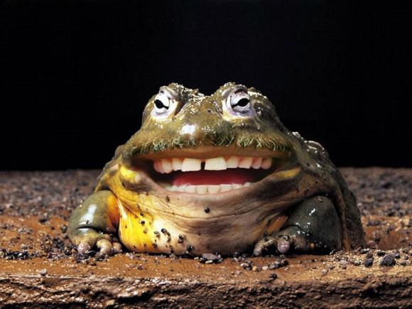 funny photoshop grinning toad human teeth man animal hybrid