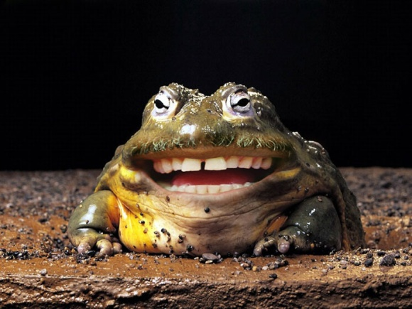 funny photoshop grinning toad human teeth man animal hybrid