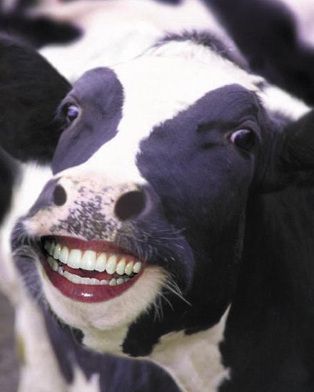 grinning cow human man animal hybrid teeth funny photoshop