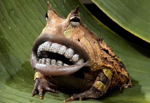 there-we-go-frogs-with-human-teeth-there-s-nothing-wrong-with-that