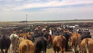 cattle-fed-lot